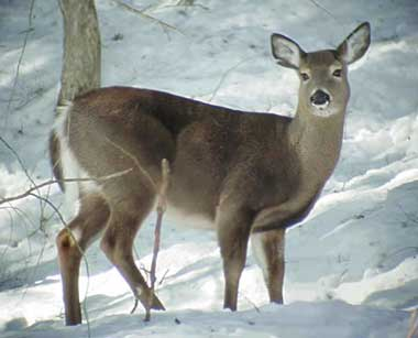 Doe in the snow.